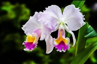 White, Yellow and Fuchsia Orchids Fine Art Print
