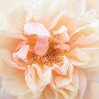 Promise Rose Fine Art Print