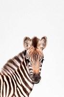 Baby Zebra Fine Art Print