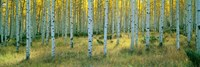 Aspens, Ashley Fine Art Print