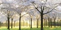 Bridal Trees Fine Art Print