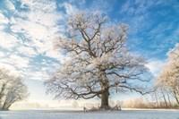 Cold Oak Fine Art Print