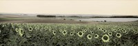 Andalusian Sun Flowers Fine Art Print