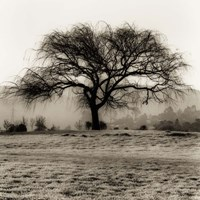 Willow Tree Fine Art Print