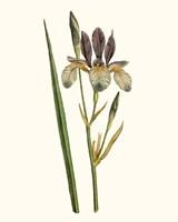 Antique Iris I Framed Print