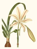 Antique Amaryllis I Fine Art Print