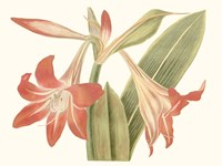 Antique Amaryllis IV Fine Art Print
