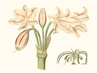 Antique Amaryllis V Fine Art Print