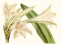 Antique Amaryllis VI Fine Art Print