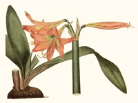 Antique Amaryllis VII Fine Art Print