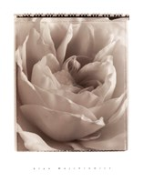 "20"" x 26"" Rose Pictures"