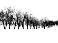 Row of trees in snow Fine Art Print