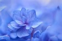Blue Hydrangea Close Up Fine Art Print