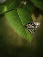 Butterfly Leaf Fine Art Print