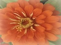 Orange Zinnia Fine Art Print