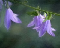 Purple Bells Fine Art Print