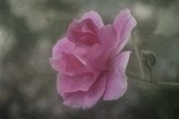 Pink Petals Fine Art Print