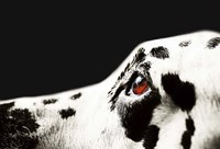 The Amber Eye of Dalmatian Dog Fine Art Print