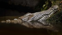 Crocodile Smile Fine Art Print