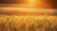 Golden Wheat Fine Art Print
