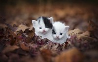 Kitten Twins Fine Art Print