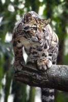 Leopard Stare Fine Art Print
