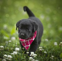 Black Lab Pup 3 Fine Art Print
