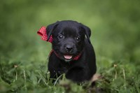 Black Lab Pup 10 Fine Art Print