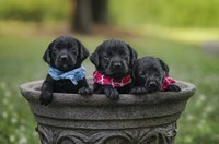 Black Lab Pups 7 Fine Art Print