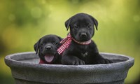 Black Lab Pups 9 Fine Art Print