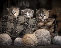 Kittens In A Basket Fine Art Print