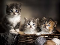 Three Kittens Fine Art Print
