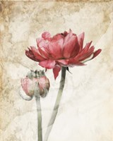 Ravishing Red Bloom Fine Art Print