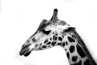 White Spotted Black Fine Art Print
