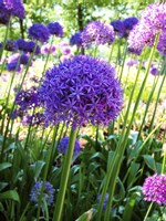 Allium Everywhere Fine Art Print