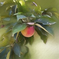 Apple Branch Fine Art Print