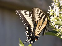 Eastern Tiger Swallowtail  Butterfly Feeding Fine Art Print