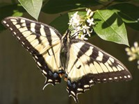 Eastern Tiger Swallowtail  Butterfly Wingspan Fine Art Print