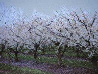 Springtime In The Cherry Orchard Fine Art Print