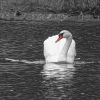 White Swan With A Touch Of Color Fine Art Print