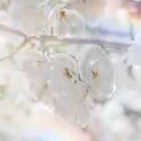 Apple Blossoms 01 Fine Art Print