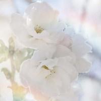 Apple Blossoms 02 Fine Art Print