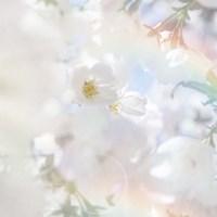 Apple Blossoms 03 Fine Art Print