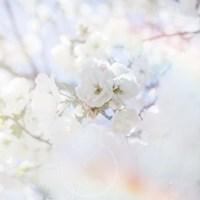 Apple Blossoms 04 Fine Art Print