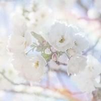Apple Blossoms 05 Fine Art Print