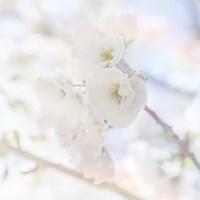 Apple Blossoms 06 Fine Art Print