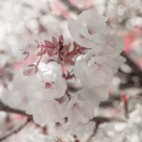 Pinky Blossom 4 Fine Art Print