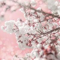 Pinky Blossom 5 Fine Art Print