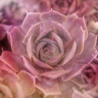 Succulents 04 Fine Art Print