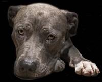 Pit Bull Terrier Fine Art Print